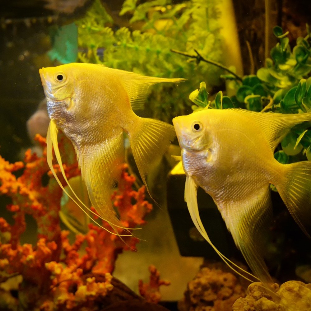 Two angelfish in a freshwater fish tank