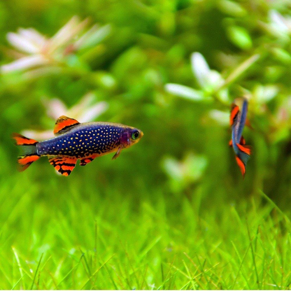 A pair of celestial pearl danios in a freshwater aquarium