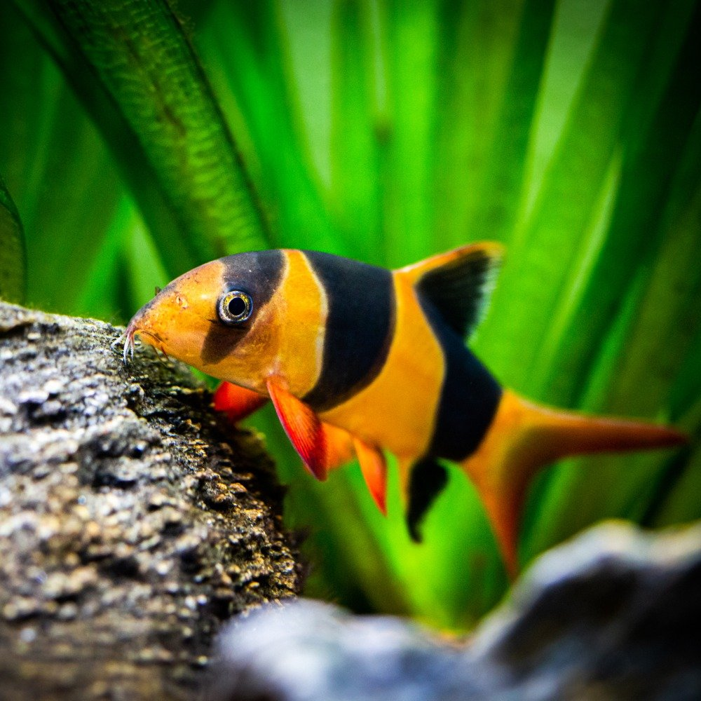 A clown loach looking for food on a rock in a freshwater fish tank