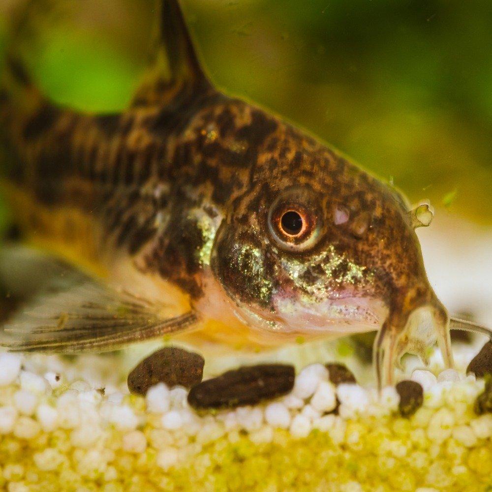 A corydoras catfish lying on gravel at the base of a freshwater fish tank