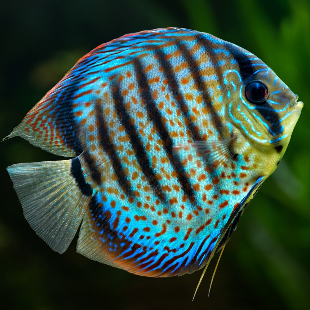 A brightly colored discus fish