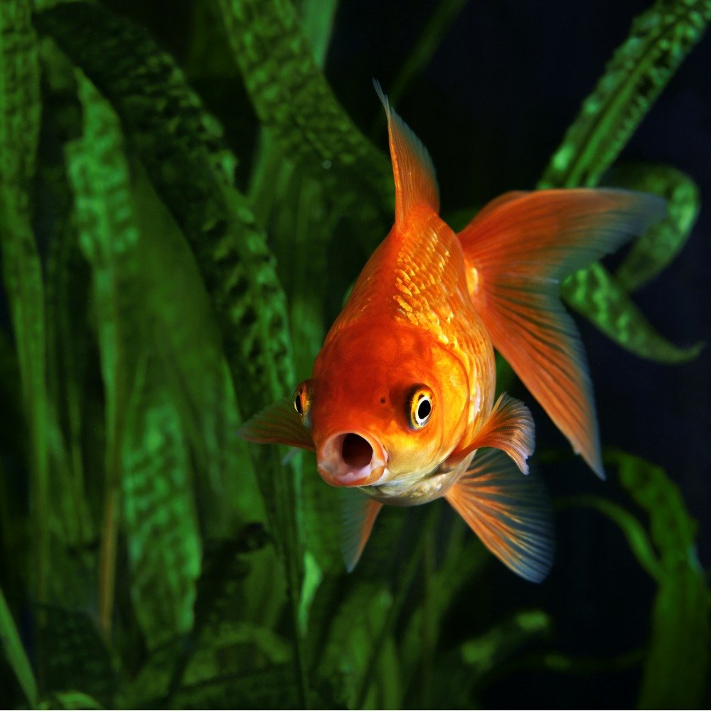 A fantail goldfish opening its mouth