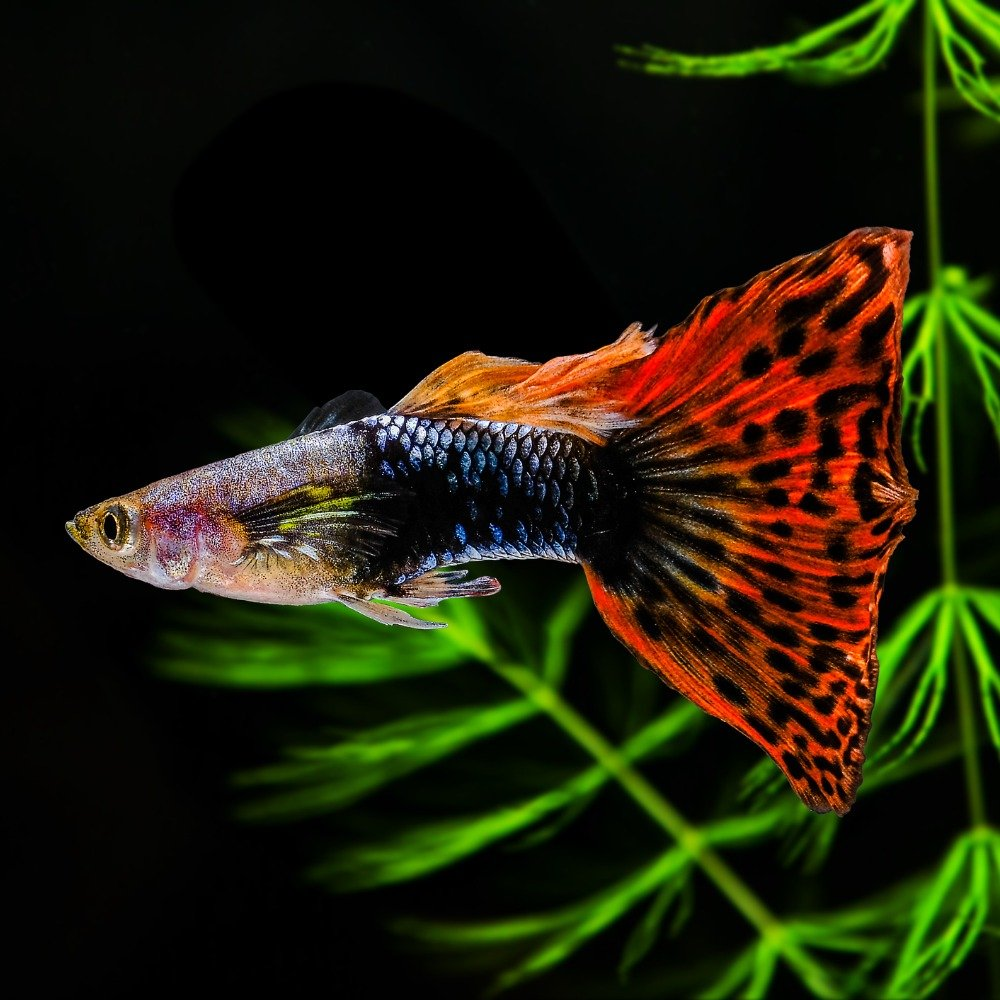 A male guppy with an orange-red tail with black spots