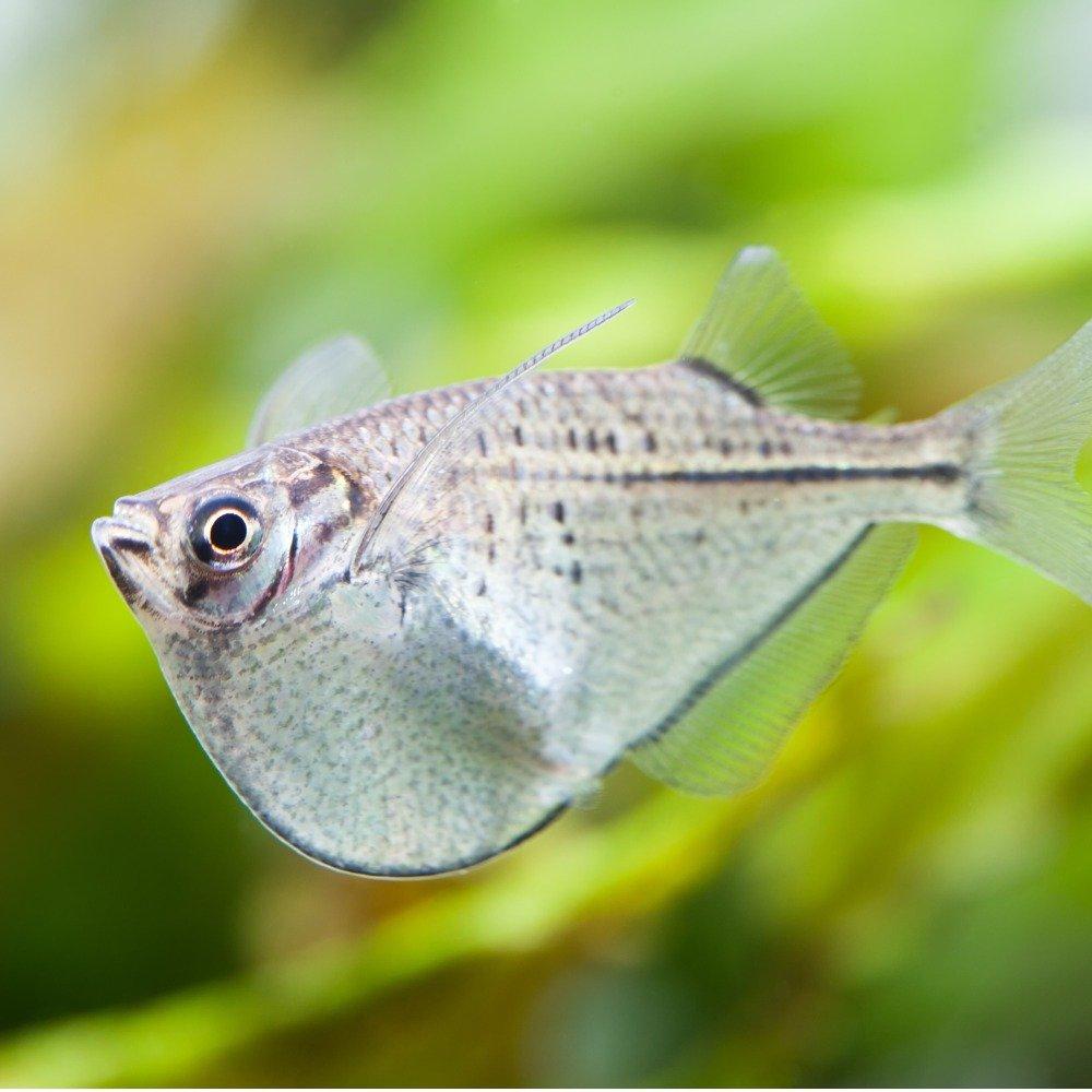 A silver hatchet fish