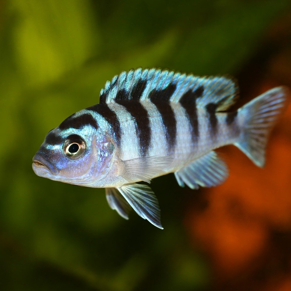 A kenyi cichlid with silver and black zebra markings