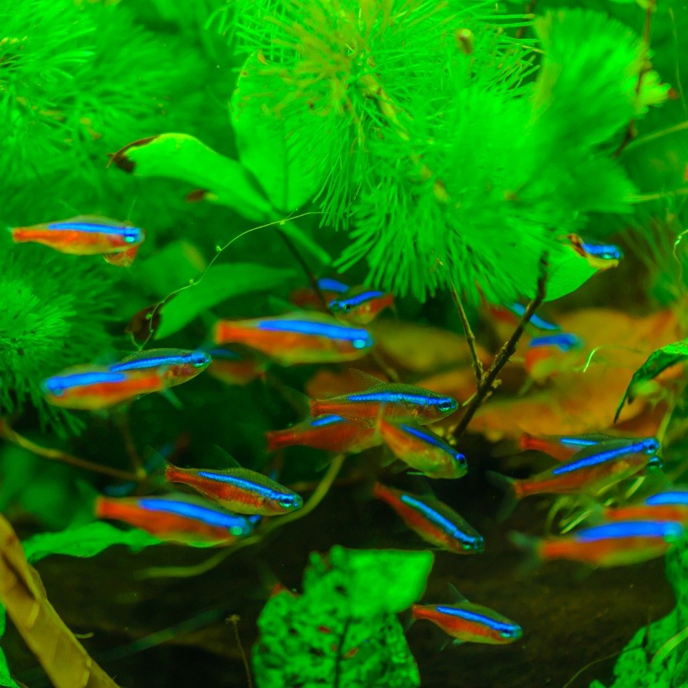 A school of neon tetras with their distinctive blue and red neon coloring