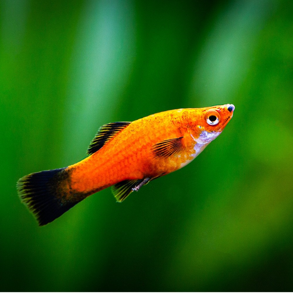 A platy with an orange body and dark fins