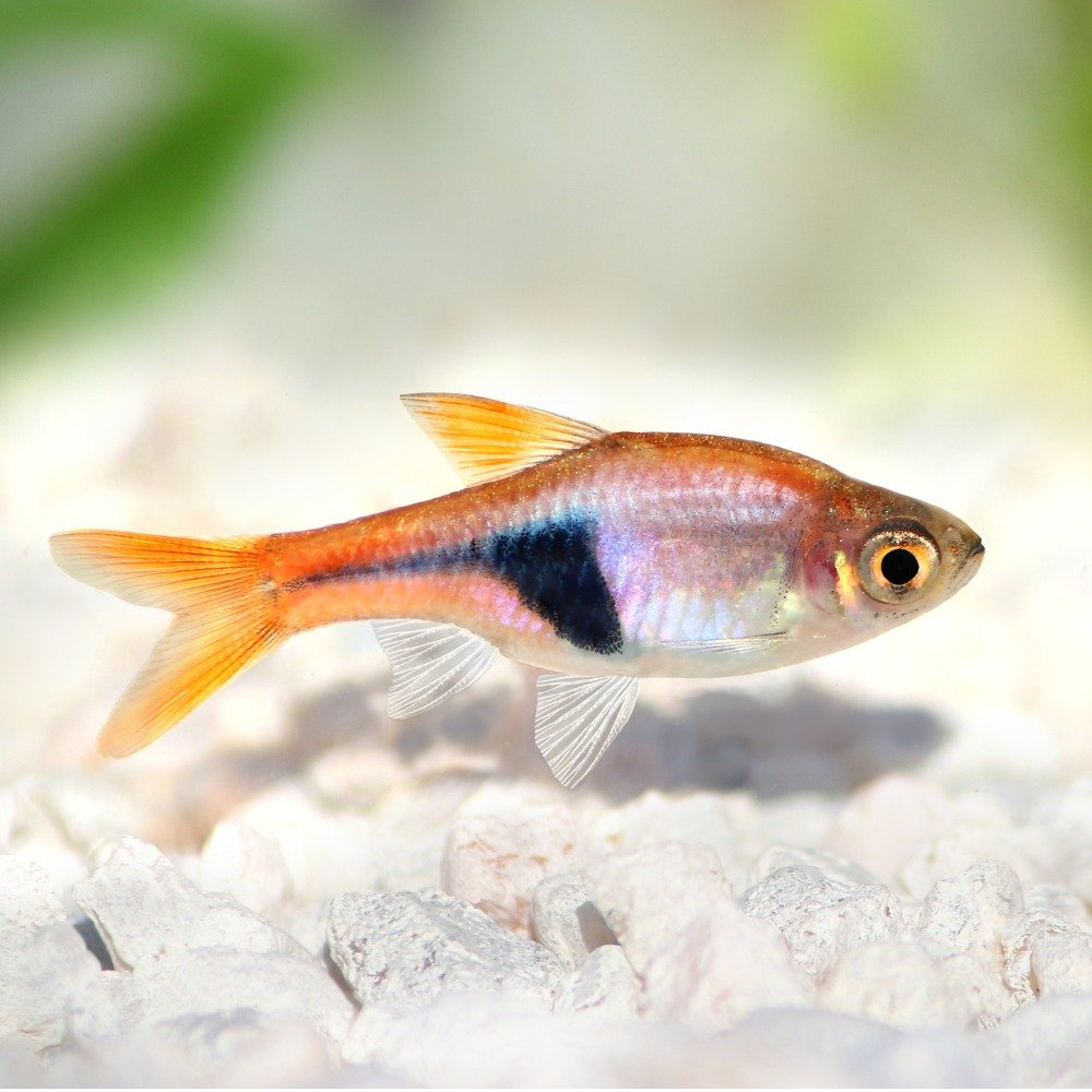 A rasbora, one of the most popular types of freshwater fish