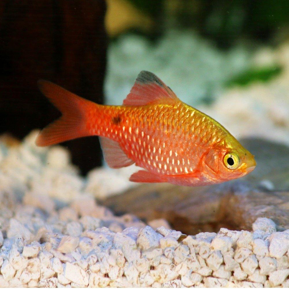 A rosy barb in a freshwater aquarium