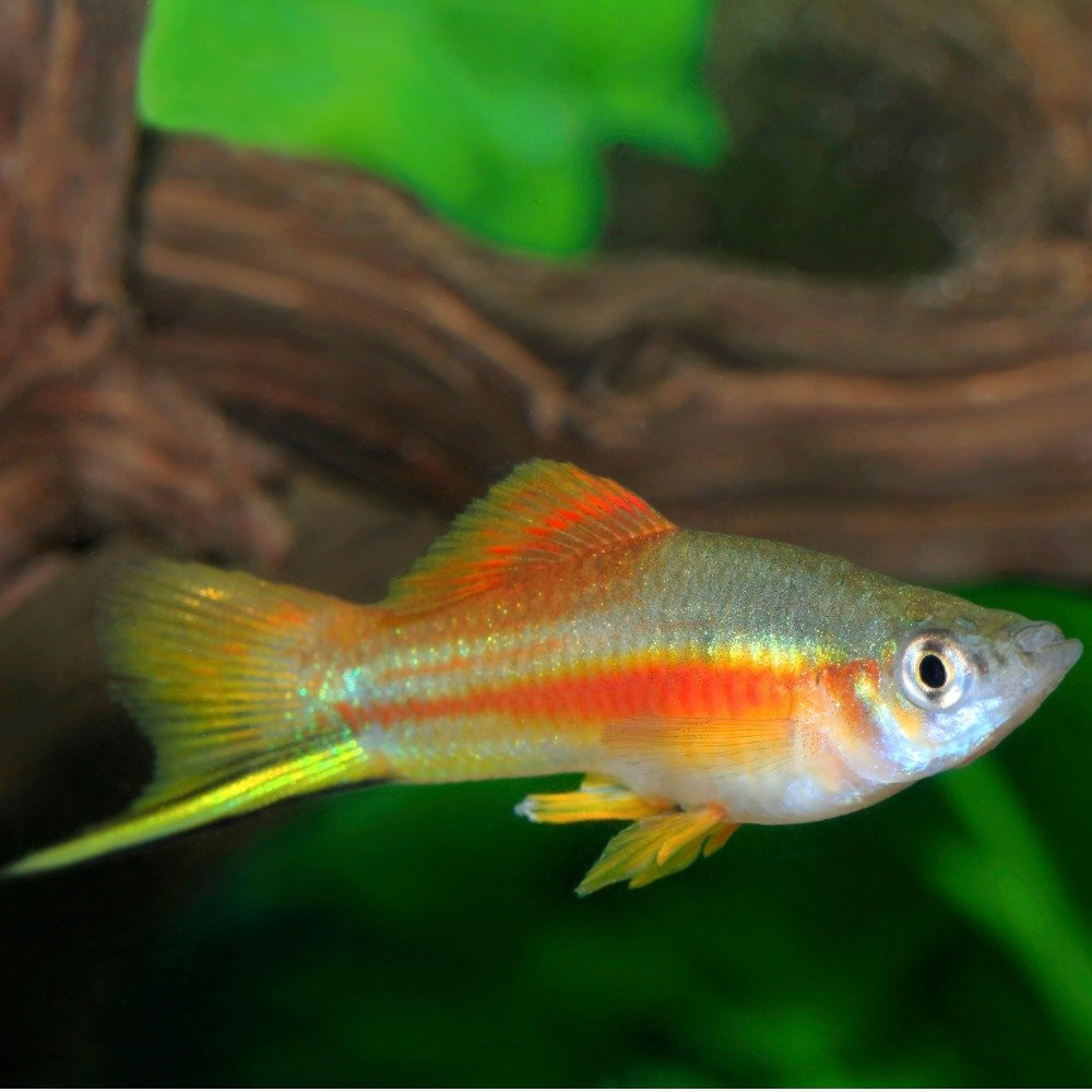 A swordtail fish with its pointed sword-like tail