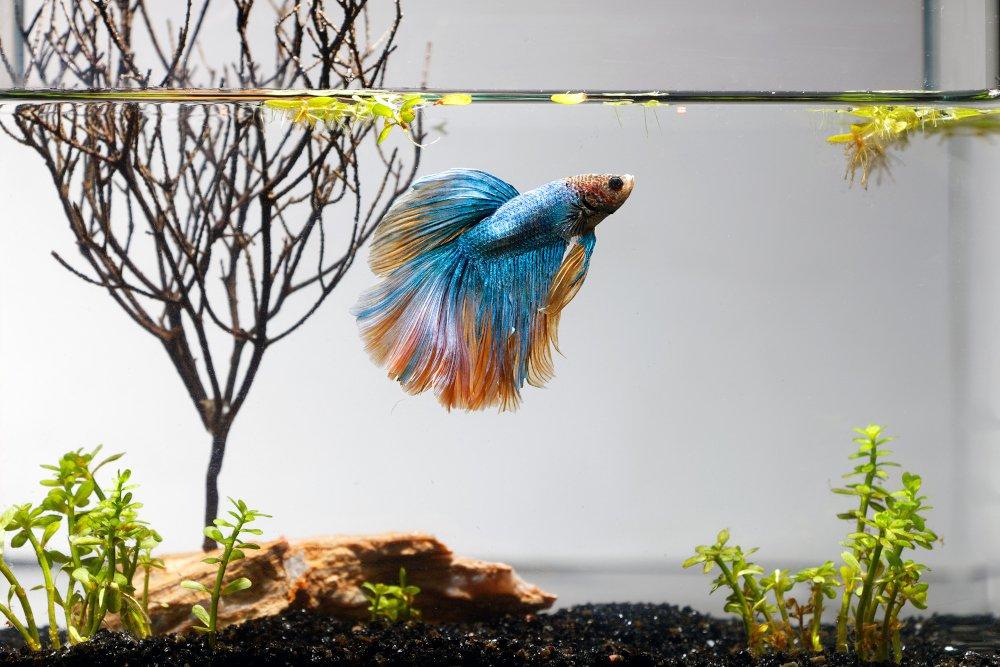 A betta fish in a 5 gallon fish tank