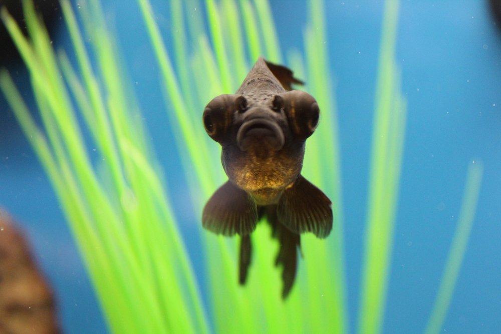 A black moor goldfish