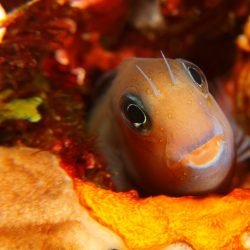 Blennie are small saltwater fish that hide in holes