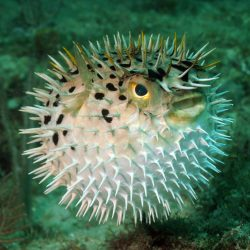 A blowfish inflating itself to make itself much larger