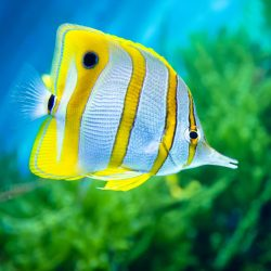 Butterflyfish get their name because they look like butterflies