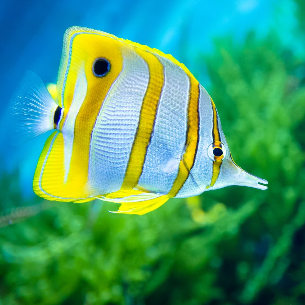 The butterfly fish is a popular type of saltwater fish