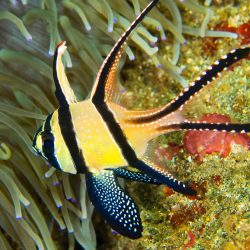 There are many types of cardinal fish kept in the home aquarium