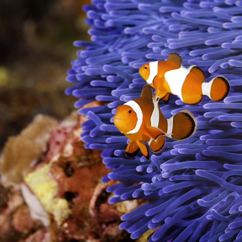 Two clownfish defend their anemone home