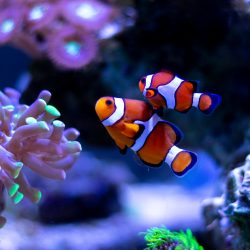 Two clownfish - probably the most popular type of saltwater fish