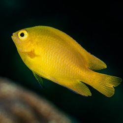 A yellow damselfish