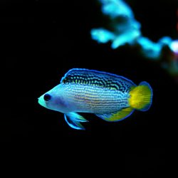 A blue dottyback with a yellow tail. Unsurprisingly, this kind of saltwater fish has dots on its back.