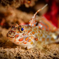 A single goby resting on a sand surface