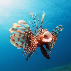A lion fish with its venomous spikes.