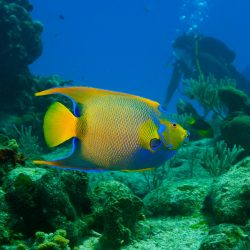 There are saltwater fish known as angelfish, as well as freshwater angelfish