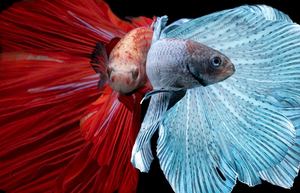 betta fish are possibly the most beautiful freshwater fish