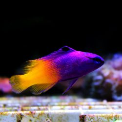 A purple and yellow Royal Gramma Basslet