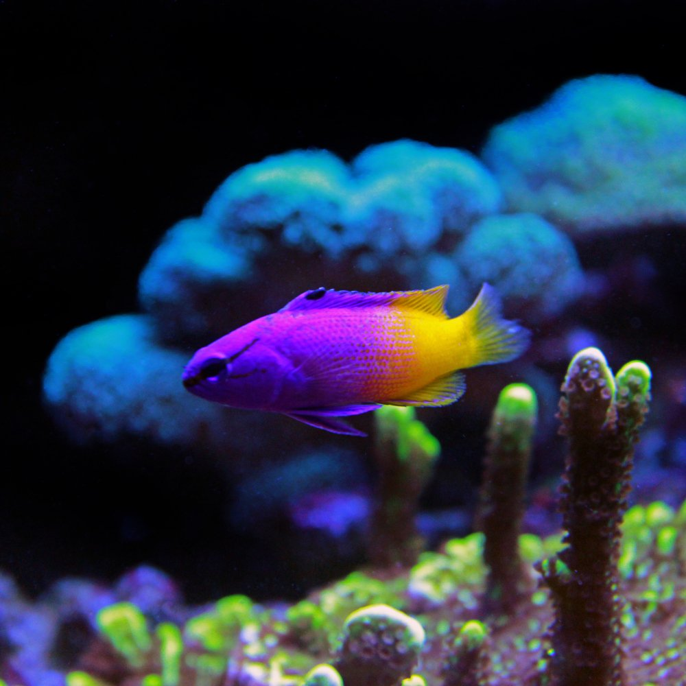 A Royal Gramma Basslet, or Fairy Basslet, which is our choice for best saltwater fish for beginners