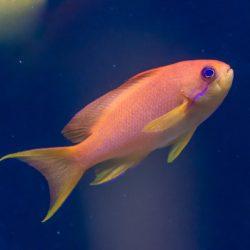A single sea Goldie