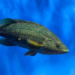 One of the many varieties of saltwater fish in the wrasse family